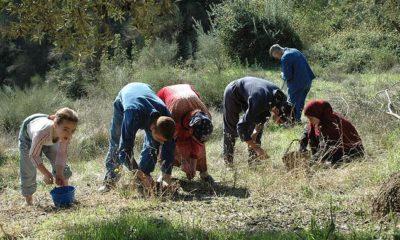 La cueillette des olives