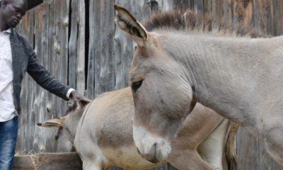 Kenya ânes