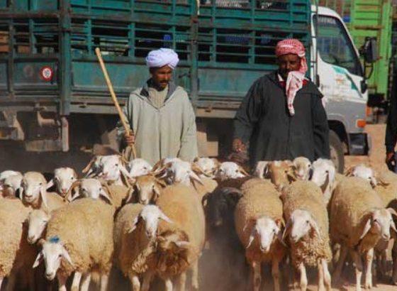 Alger : accès interdit aux camions transportant du bétail