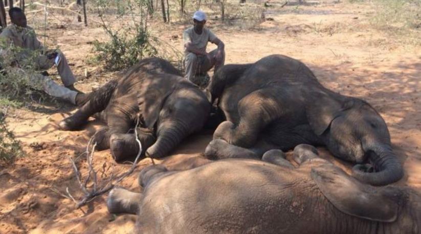 Botswana : mort mystérieuse d'au moins 275 éléphants